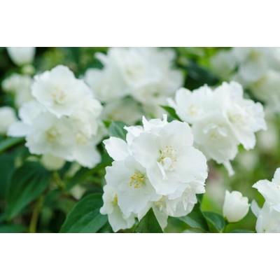 Jasmine Flower Essential Oil